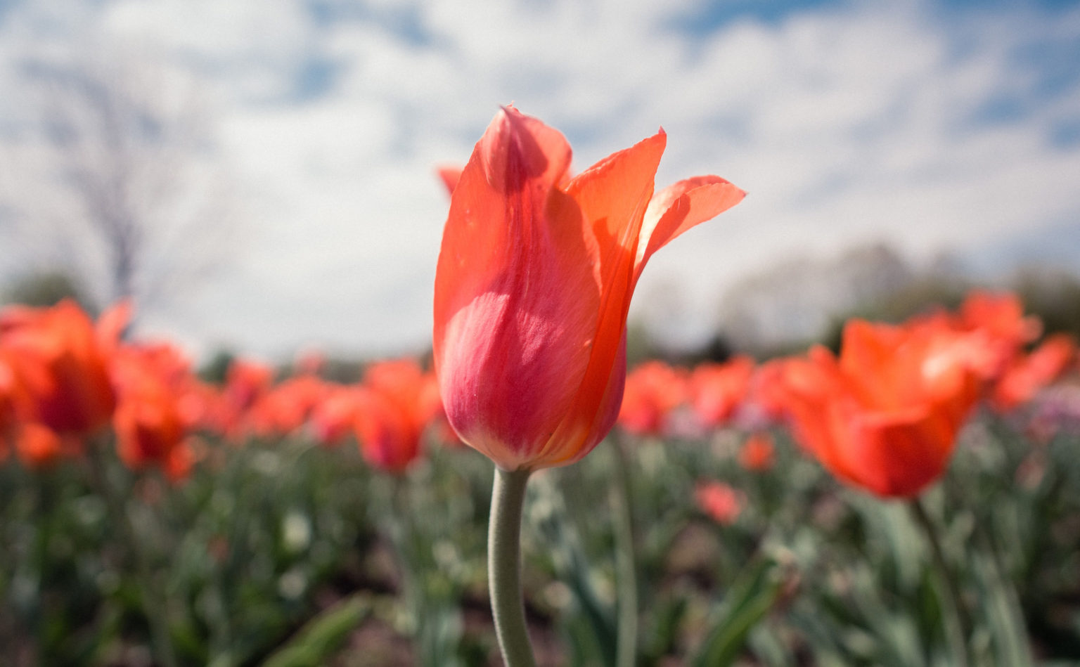 Red tulip amidst a tulip field in the Netherlands